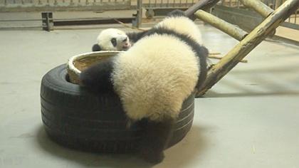 熊貓崽崽是怎麼玩躲貓貓的?