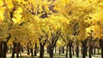 微視頻:美到藏不住!一抹金黃漫天飛