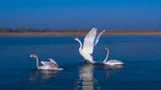 大蘆湖上天鵝飛