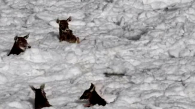 青海玉樹:6只白唇鹿被困冰面 管護員緊急救助