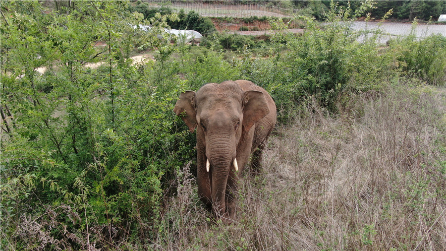 雲南離群獨象距象群約12公裏 獨象最新照片來了