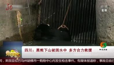 四川:黑熊下山被困水中 多方合力救援