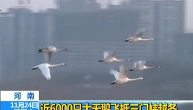河南:近6000只大天鵝飛抵三門峽越冬