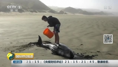 新西蘭145頭領航鯨集體擱淺死亡