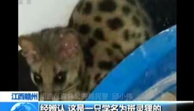 江西贛州:斑靈狸誤入民宅 森林公安助其回家