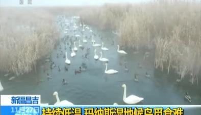新疆昌吉:持續低溫 瑪納斯濕地候鳥覓食難
