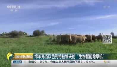 """綿羊充當以色列特拉維夫的""""生物智能除草機"""""""