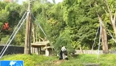 """旅美大熊貓""""高高""""解除隔離亮相"""