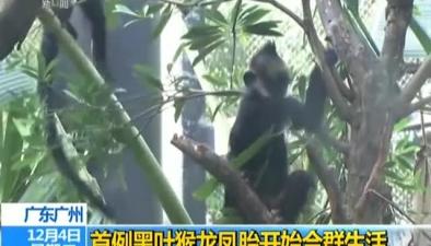 廣東廣州:首例黑葉猴龍鳳胎開始合群生活