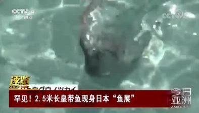 """罕見!2.5米長皇帶魚現身日本""""魚展"""""""