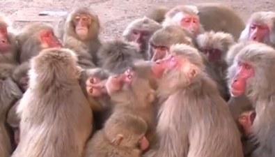 """日本:500猴子報團取暖 上演""""猴團子""""奇觀"""