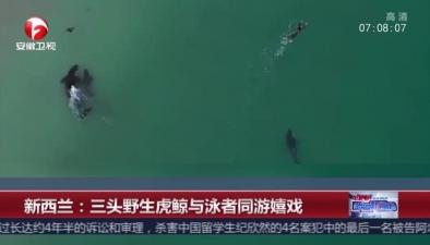 新西蘭:三頭野生虎鯨與泳者同遊嬉戲
