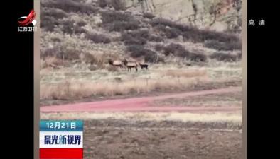 美國:出走山羊與麋鹿群一起流浪