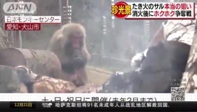 """日本愛知縣猴子""""烤火""""取暖 愜意十足"""