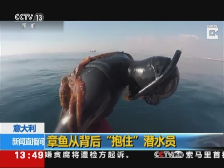 """意大利:章鱼从背后""""抱住""""潜水员"""