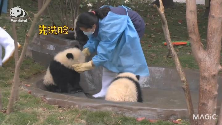 萌萌噠 熊貓社區|大熊貓寶寶洗澡記