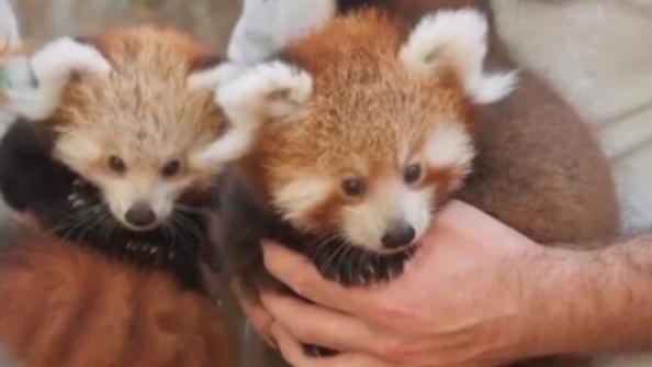 澳動物園小熊貓幼崽出門遛彎