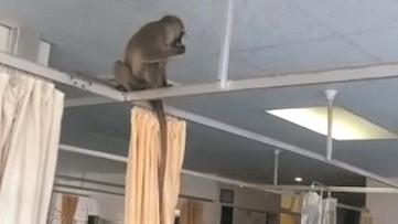 醫院選址在猴子棲息地 猴子入侵病房搶水果