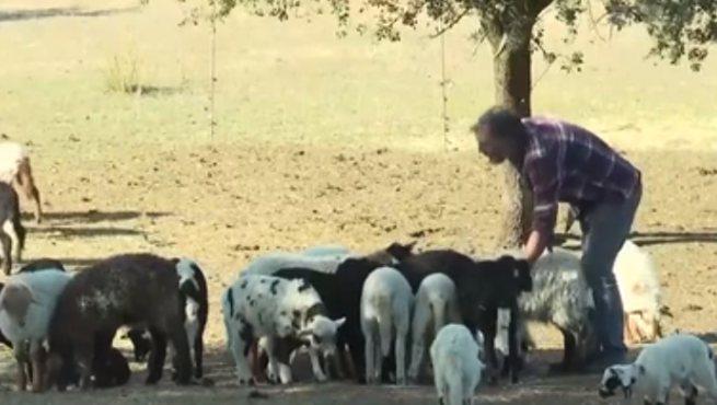 西班牙城市公園用綿羊除雜草