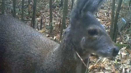 金佛山保護區:首次拍攝到野生雄性林麝