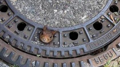 小松鼠腦袋被卡井蓋 瞪大眼睛一臉無辜