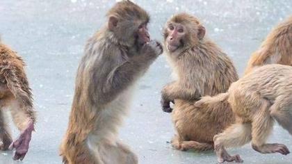 動物園14只猴子拿鑰匙開門 集體逃跑