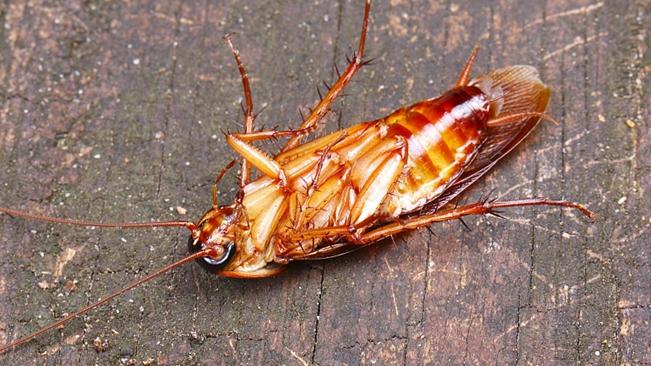 殺蟲劑將殺不死蟑螂?