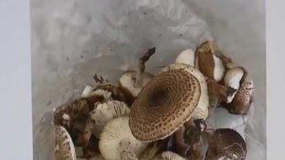 飲食安全:公園野蘑菇 食用有隱患