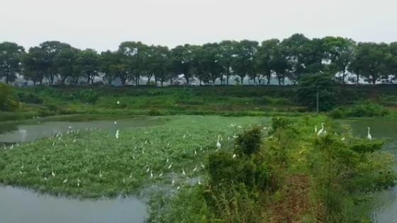 江西共青城人鳥和諧生態美