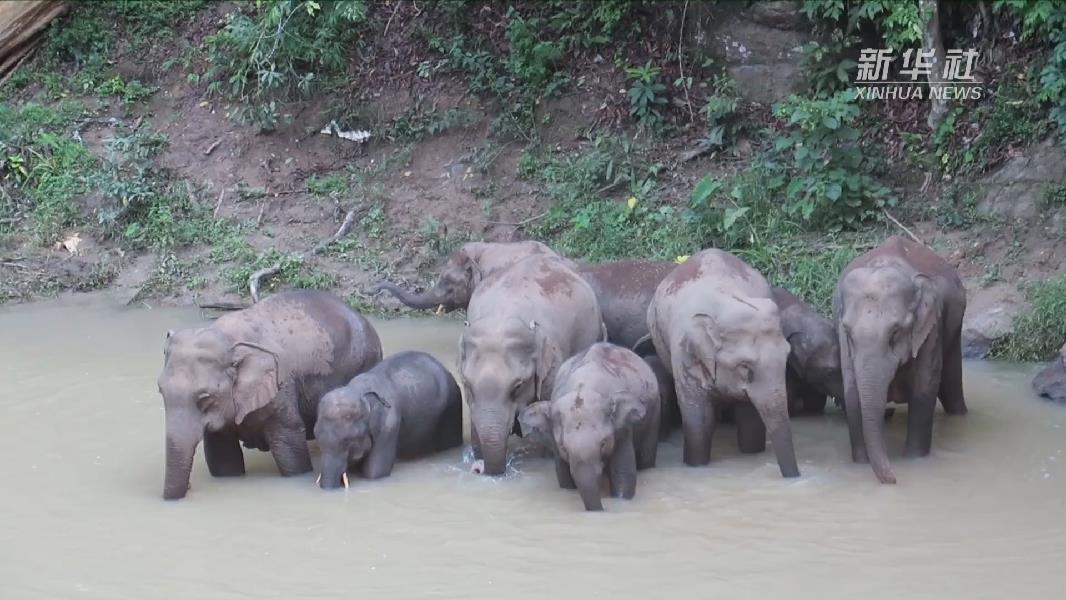 雲南西雙版納:野象出沒較往年同期頻繁