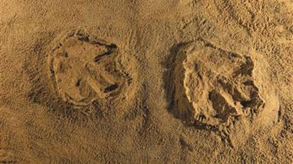 江西贛州發現亞洲首例霸王龍足跡
