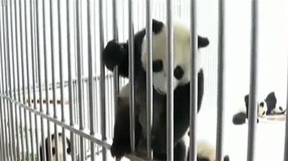 2020年迪拜世博會:將專設中國大熊貓展區