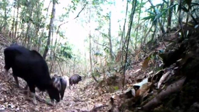 雲南普洱:紅外相機拍到印度野牛珍貴視頻