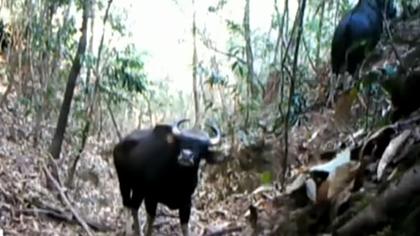 雲南普洱:紅外相機拍到印度野牛珍貴影像