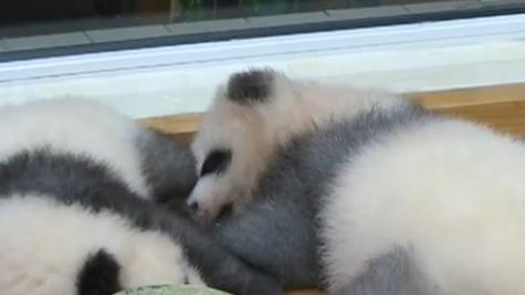 """大熊貓繁育季:熊貓寶寶""""績笑""""首次公開亮相"""