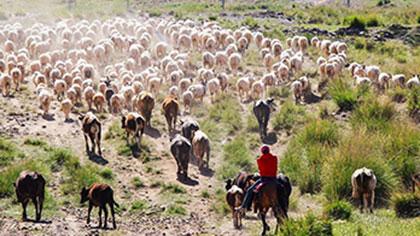 甘肅肅南:壯觀!祁連山下牛羊浩蕩轉場