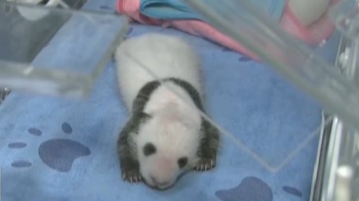 大熊貓繁育季:今年陜西第三只大熊貓寶寶誕生