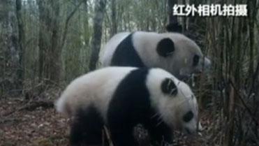 四川:美姑大風頂保護區拍到大熊貓母子