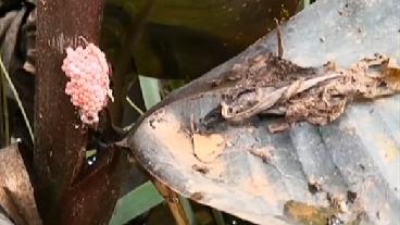 雲南:撫仙湖現大量福壽螺 清除展開