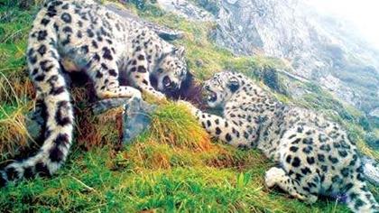 四川臥龍:雪豹分布密度極高