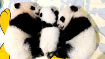 陜西:三只秦嶺大熊貓寶寶全國徵名待認養