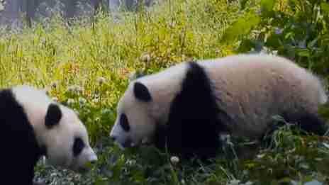 三只大熊貓完成培訓 可以野化放歸