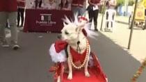 秘魯:寵物狗聖誕走秀 狗狗爭奇鬥艷