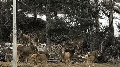 四川甘孜:村民拍下白唇鹿喝水畫面