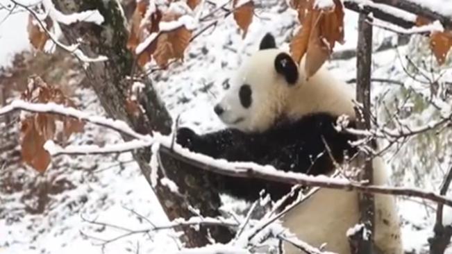 陜西佛坪:大熊貓雪地撒歡賣萌