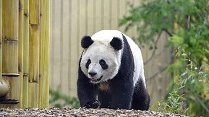 四川成都:旅加大熊貓龍鳳胎回家