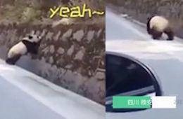 偶遇野生大熊貓國道散步 網友低速行駛護送