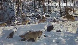 內蒙古:紅外相機拍到野生狼群出沒