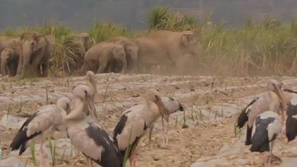 西雙版納:亞洲野象與鉗嘴鸛和諧相處