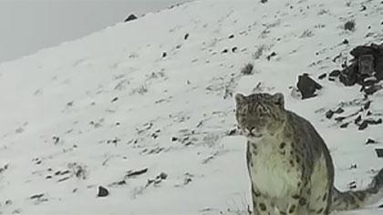 紅外相機在阿爾金山拍到雪豹畫面